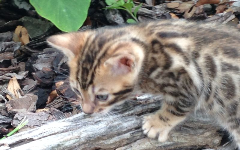 Bengal cat for sale charlotte nc