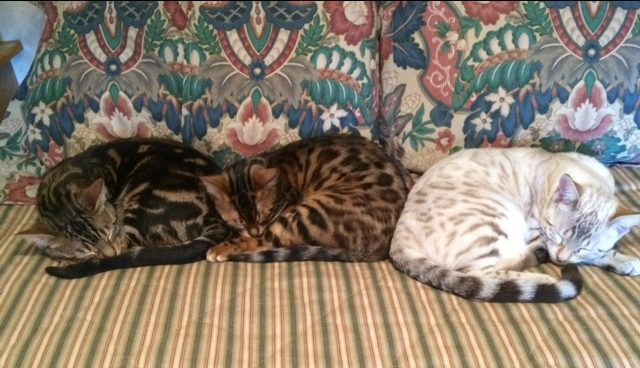 Three Bengal cats sleeping on a couch - dark brown, honey and white cats