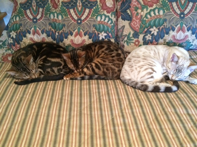 Queen City Bengals Cattery - Bengal Kittens for Sale