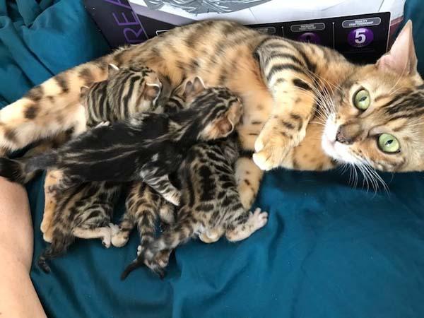 Mother Bengal cat nursing her kittens.