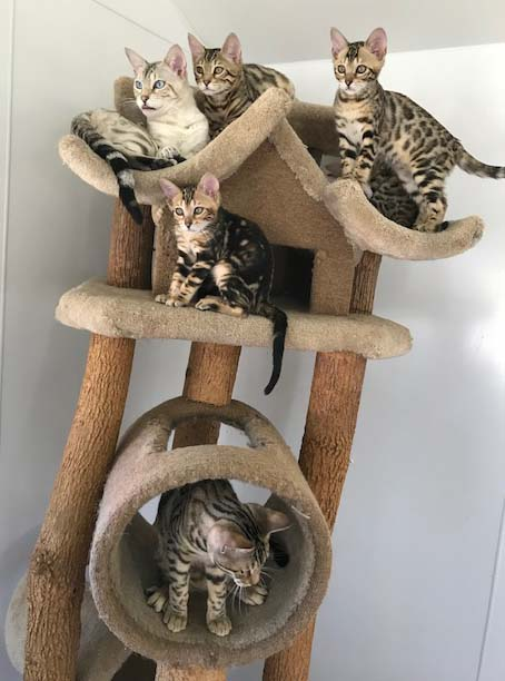 Bengal cat tree