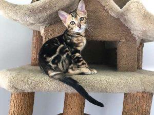 Mabel a female Bengal kitten
