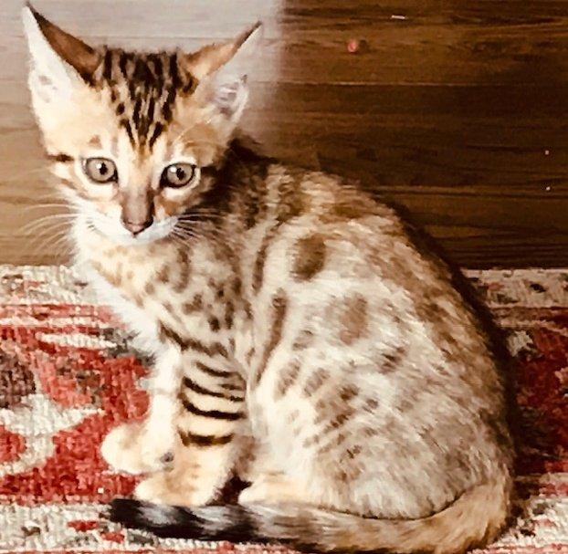 Sweet Pea Kitten