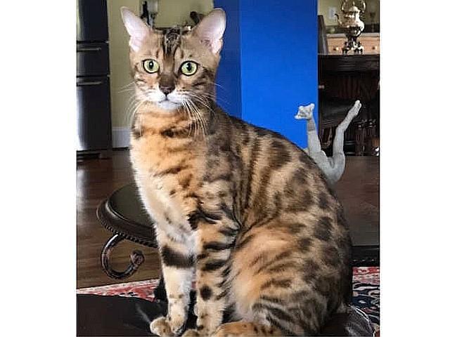 Reba Female Bengal cat