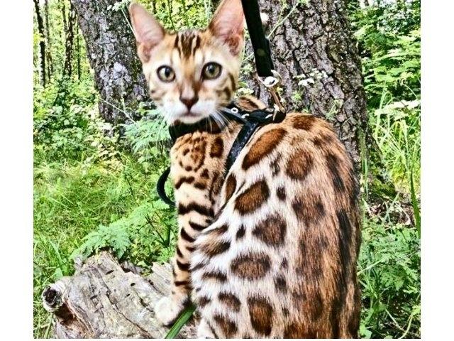 Sophie female Bengal cat