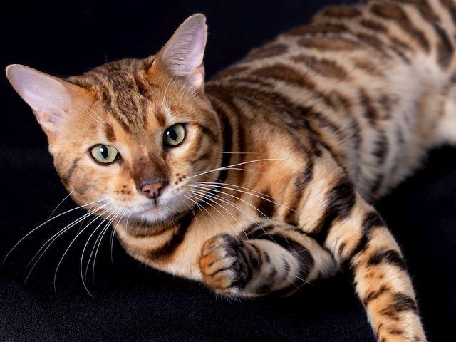 Queen City Bengals Cattery kitten
