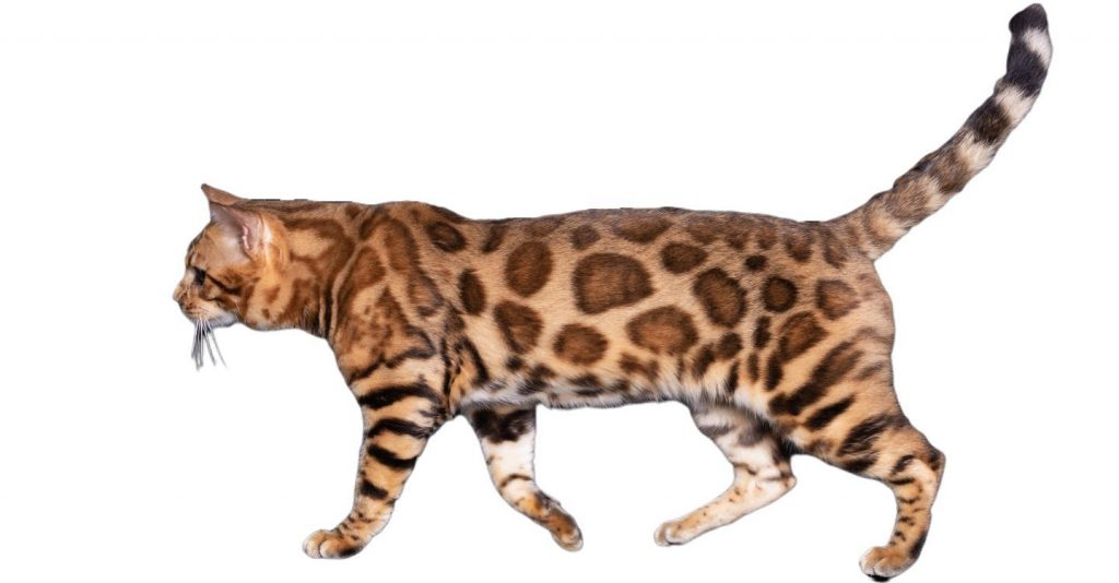Ozzy Male Bengal Cat